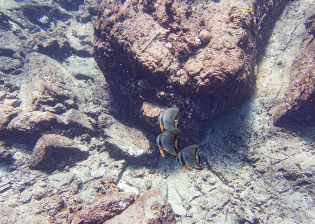 school of bat fish at koh bon reef