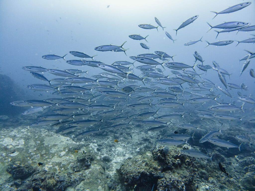 school of barracudas at tachai pinnacle dive site