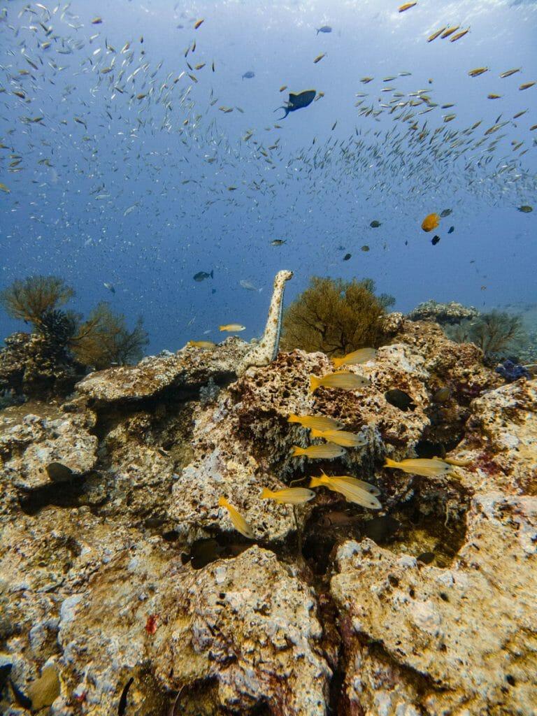 sea cucumber at tachai pinnacle dive site